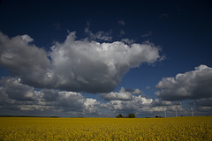 20090511 Between Yellow and Blue (SteenT) Tags: sky clouds 365 rapeseed project365 5d2 steentalmark talmark