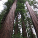 Redwood Forest 10