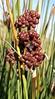 LEOPOLD'S RUSH (Juncus acutus ssp. leopoldii) hunco ~ Original = (2013 x 3639) (turdusprosopis) Tags: juncus juncusacutussspleopoldii juncusacutusleopoldii juncusleopoldii juncusacutusvarleopoldii juncaceae juncusacutuslsspleopoldiiparlsnogerup giuncospinoso spinyrush sharprush sharppointedrush leopoldsrush especiesinvasoras invasiveespecies invasiveplants tussocky hunco junco juncoespinoso plantasnativasdeargentina plantasnativasdelaargentina plantasnativasargentinas plantasdeargentina plantasautóctonasdelaargentina plantasautóctonasdeargentina plantasautóctonasargentinas plantasargentinas floradelaargentina floranativabrasileira floranativadobrasil floradobrasil floradeargentina floraautóctonadeargentina floraautóctonadelaargentina floraautóctonaargentina floraargentina argentineindigenousplants floradechile florachilena plantsofchile plantasdechile plantaschilenas floradeluruguay floradeuruguay florauruguaya plantasdeluruguay plantasdeuruguay plantasuruguayas plantsofuruguay floraofuruguay