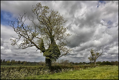 Two Trees. (Pat Dalton...) Tags: light sky house tree grass leaves clouds canon geotagged branch leicestershire farm branches sigma ivy shade hedge verge 1770mm 450d mywinners abigfave pdeee454 geo:lat=52491365 geo:lon=1020066
