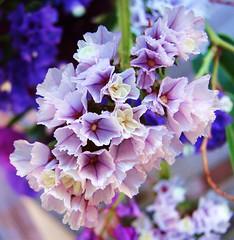 My Delicate (Jenn (ovaunda)) Tags: macro purple sony violet macros dsch5 jennovaunda ovaunda
