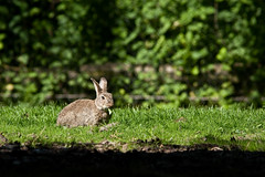 2009-05-22-16h27m28.IMG_9770l (A.J. Haverkamp) Tags: rabbit zoo rotterdam blijdorp konijn misc dierentuin diergaardeblijdorp canonef14xiiextender httpwwwdiergaardeblijdorpnl canonef300mmf4lisusmlens