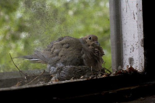 Jones_090504_MorningDove_12