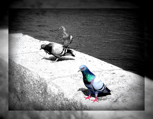 Pigeons in Solothurn, River Aare