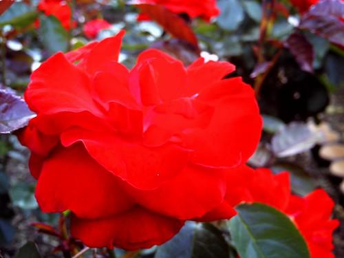 霊山寺「バラ庭園」トイカメラ-08