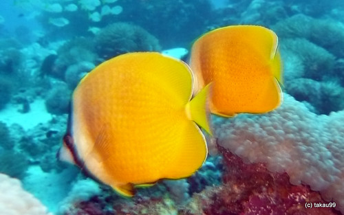 Pair of Sunburst butterflyfish, Thailand