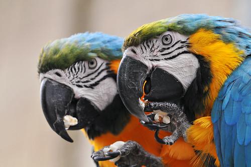 フリー画像| 動物写真| 鳥類| インコ科| ルリコンゴウインコ|       フリー素材|