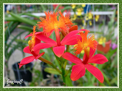 Epidendrum cinnabarinum (Vermilion Epidendrum, Crucifix Orchid, Reed-stem Epidendrum) at Rawang Orchid Nursery, May 2007