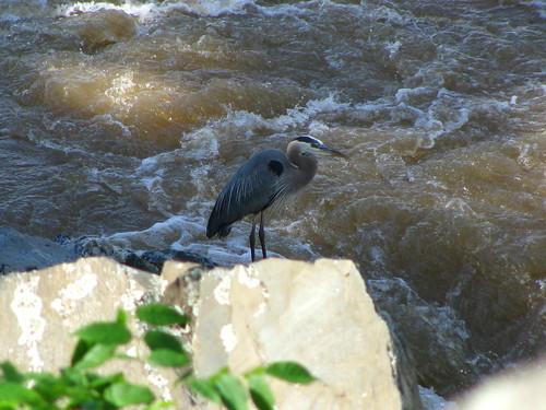 Majestic Heron on Rock