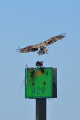 Osprey nest on a channel marker