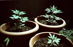 Be patient.... (almogaver) Tags: plant green planta film grass analog 35mm garden lomo lca xpro fuji maria crossprocess lomolca drug joint 400asa sensia verd marihuana jardí fujisensia fujisensia400 almogaver procéscreuat geo:lat=3 geo:long=42