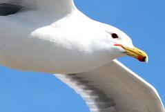 Close Look (colonial1637 (off & on)) Tags: bird wildlife seagull gull flight californiagull
