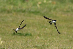 Photo of House Martin (composite)