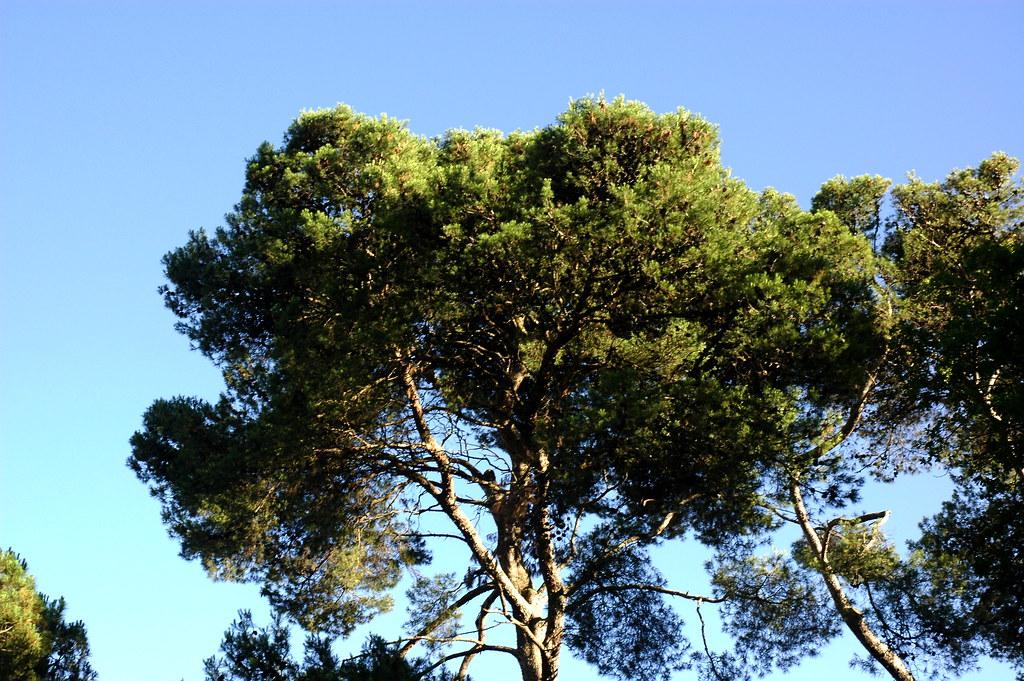 Pinheiro de Alepo, Lisboa, 20Junho2009-084
