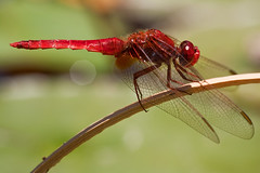 As red as it gets (macropoulos) Tags: topf25 scarlet 500v20f dragonfly animalia arthropoda gettyimages darter odon