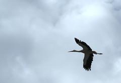 002265 - Cigüeña (M.Peinado) Tags: españa animal canon spain aves ave animales cigüeña 2010 comunidaddemadrid cigüeñas alcaládehenares ccbync canoneos1000d 18042010 abrilde2010