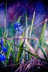 (mblsha) Tags: flower water grass rain explore fav extensiontubes strobism afdcnikkor135mmf2d gettycandidate