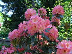 Pink Rhodies (at'ra-chay) Tags: pink green leaves garden spring day may springtime rhododendrons rhodies