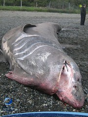 cmaximus01 (Tiburones Chile) Tags: chile peregrino diversidad biodiversidad especieamenazada tiburonperegrino sabiasquedescubre