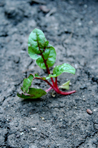 Swiss Chard Seedling