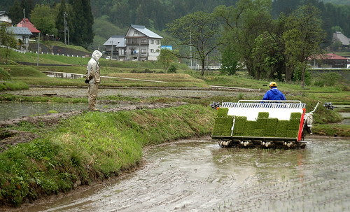Neighbors Planting their Rice Field