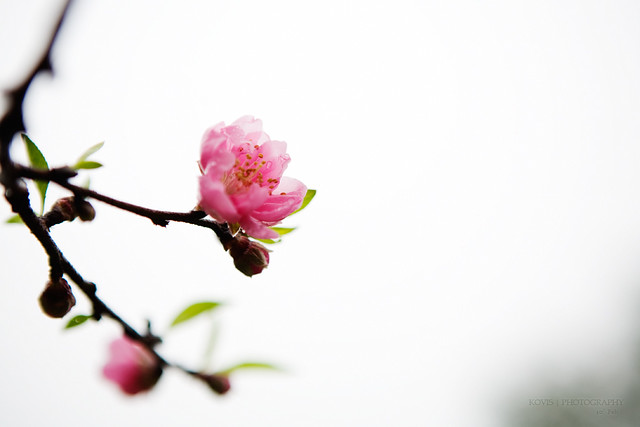 桃花? / Peach blossoms