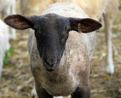 crossbred lamb