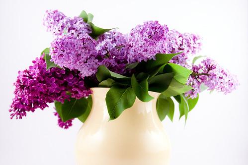 Lustrous Lilacs
