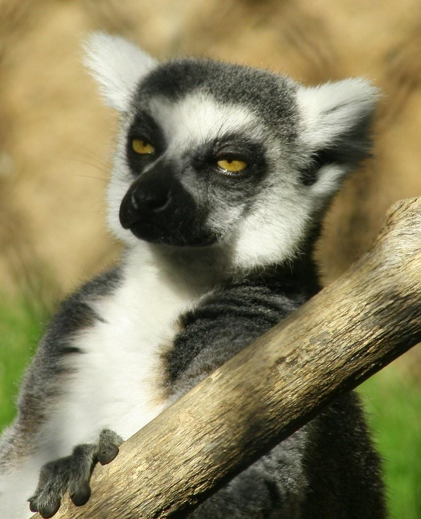 lemur friend. (TAGGED again)