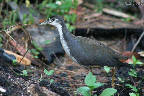 Ruak-Ruak @ White-breasted Waterhen