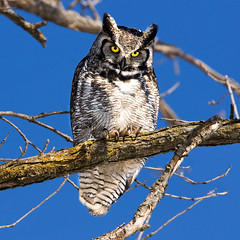 Grand Duc - Great Horned Owl (Dan. D.) Tags: bird animal canon great grand grandduc owl greathornedowl duc horned eldano alemdagqualityonlyclub alemdaggoldenaward