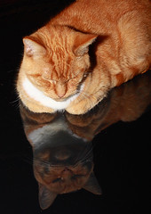 day,36 2009 5th febuary take to cat (tonys2010project) Tags: reflection cat eos 365 caono 3661 40d