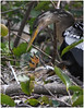 Anhinga W Baby #-2 (billkominsky ) Tags: bird nature birds cormorants babies feeding wildlife waterbirds specanimal specanimals avianexcellence excellenceinavianphotography mykindofpicturegallery onewordwow wakohadcheewetlands