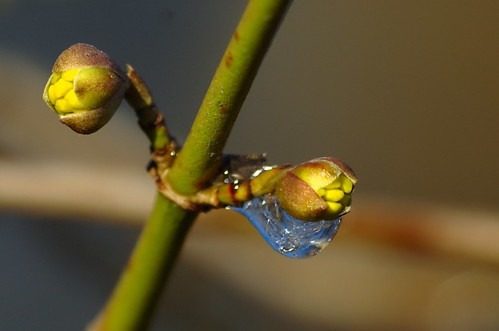 Cornus mas - Gele kornoelje, European Cornel, Cornelian cherry Dogwood