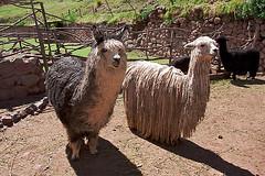 Alpaca huacaya (L) and alpaca suri (R)