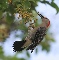 5 days in Yucatan: Golden-fronted Woodpecker 2 (spiderhunters) Tags: bird mexico yucatan goldenfrontedwoodpecker melanerpesaurifrons neotropics slbfeeding