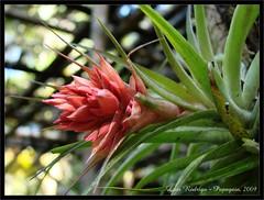 Bromelia (L.Rodrigo - Papagaio ) Tags: flowers red summer flores flower color macro verde green nature cores dof sony natureza flor vermelho 2009 papagaio verao h50 dsch50 vosplusbellesphotos lrodrigo newcor