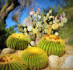 The Living Desert (Sandra Leidholdt) Tags: livingdesert cactus palmdesert nature natural natur natura cacti botanical coachellavalley plants riversidecounty explore natureza california explored sandyleidholdt leidholdt sandraleidholdt desert desierto landscape paysage