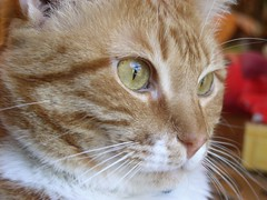 Ethan Eyes (PaperBouquet of Mars) Tags: orange cats face cat eyes tabby kitty ethan kitties orangetabby tabbycat orangetabbycat