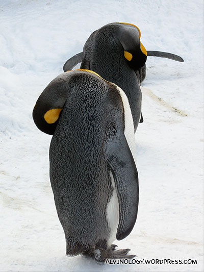 Penguins cleaning themselves