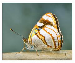 close-up (Andrea Rapisarda) Tags: brazil naturaleza macro nature closeup butterfly geotagged bokeh natura mariposa farfalla iguaçufalls hbw theunforgettablepictures olympuse510 macrolife theperfectphotographer tup2 rapis60 andrearapisarda geo:lat=25688831 geo:lon=54434509
