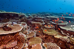 reef2073pcw (gerb) Tags: ocean fish water topv111 coral 510fav wow ilovenature cool topv555 topv333 underwater scuba 1224mmf4g d200 reef maldives aquatica anthia tvx sunkentreasureaward