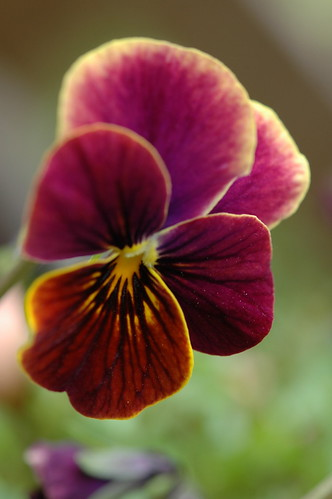 Pansy 20090307a 01 by cygnus921, on Flickr