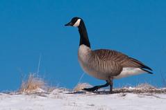 duck, duck, (nosha) Tags: blue winter sky snow nature beautiful beauty march newjersey wildlife nj 85mm goose mercer f80 2009 avian mercercounty ais lightroom gander nosha 85mmf20 natureycrap nikond300 noshalikes