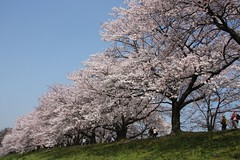 Spring, Cherry trees  (eyawlk60) Tags: trees sky favorite japan cherry spring kyoto nippon 40d anawesomeshot