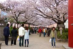 鶴ヶ丘八幡宮の桜