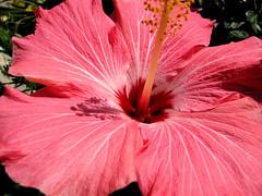 Un hibiscus en rappel de l't (!MimosaMicheMichelle!) Tags: summer flower macro fleur hibiscus pinkflower t 2008 privategarden canons3is fleurrose jardinpriv mimosamichemichelle michellebchardlalonde img86567mf montrgie rivesudsouthshore canada qubec laprairie