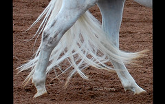Cat Walk (Song River- CowGirlZen Photography) Tags: arizona horse white grey nikon mare walk tail step getty horseshow catwalk equine mane whiteknight greyhorse whitestallion fashionrunway flickrhivemind thecelebrationoflife cowgirlzenphotography