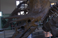 CB309 Triceratops (listentoreason) Tags: newyorkcity usa newyork nature animal museum america canon fossil unitedstates dinosaur reptile places mineral animalia triceratops vertebrate americanmuseumofnaturalhistory dinosauria chordate chordata ef28135mmf3556isusm score30 sauropsida ornithischia ceratopsia ceratopia cerapoda ceratopsidae ceratopsinae predentata