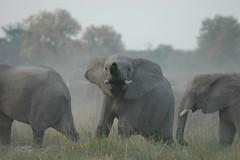 not happy (La Lince) Tags: africa elephant nature animals wildlife botswana mammals erbivore loxodontaafricana africanwildlife moremigr